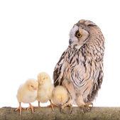 Owl with newborn chickens — Stock Photo