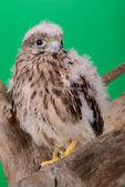 Junge Küken hawk — Stockfoto