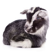 Farm animal goat isolated — Stock Photo