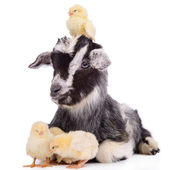 Goat and chickens — Stock Photo