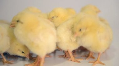 Many newborn chickens — Stock Video