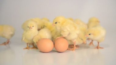 Many newborn chicken — Stock Video