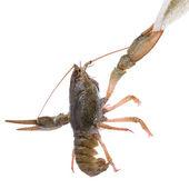 Live animal crawfishes — Stock Photo