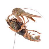 Live animal crawfishes — ストック写真