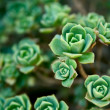 Stock Photo: Close-up of green houseplant PeperomiVerticillata