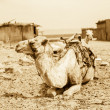Vintage photo of camel — Stock Photo