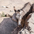 Stock Photo: Donkey in desert
