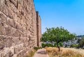 Olivovník — Stock fotografie