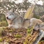 Постер, плакат: Wolf on Guard