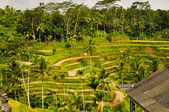 Rice Paddy Field on Escarpment — Stock Photo
