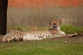 Cheetah yawning — Stock Photo