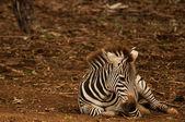 Baby Zebra finding its legs — Stock Photo