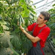Stock Photo: Farmer checking cucumber in a greenhouse