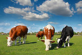 Cows grazing on pasture — Photo