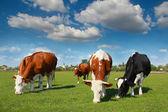 在牧场上放牧的牛 — 图库照片