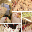 Chicken farm - multiscreen — Stock Photo #15633599