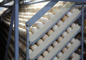 Chicken eggs in incubator — Stock Photo