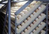 Chicken eggs in incubator — Stock Photo