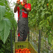 Stock Photo: Farmer picking tomato in a greenhouse
