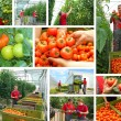 Picking tomatoes — Stock Photo