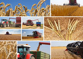 Wheat harvest - collage — Stock Photo