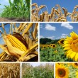 Corn, Wheat and Sunflower Collage — Stock Photo