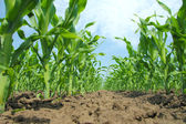 кукурузное поле — Стоковое фото