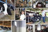 Fazenda de gado leiteiro, colagem — Foto Stock