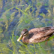Duck in Lake — Stock Photo