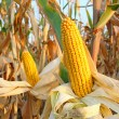 Corn Field — Stock Photo #30398581