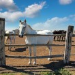Stock Photo: Horse Farm, Lipizzaner