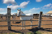 Horse Farm, Lipizzaner — Stock Photo