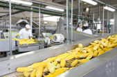 Corn cob on production line in a food industry — Stock Photo