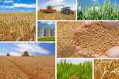 Production of wheat, collage — Stock Photo