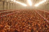 Chicken Farm, Poultry Production — Stock Photo