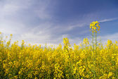 Rapeseed flowers in the field — Stock fotografie