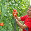 Farmer picking tomato — Stock Photo #49417081