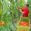 Farmer picking tomato — Stock Photo #49417127