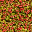 Begonias — Stock Photo #12679072