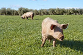 Two pigs — Stock Photo