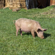 Pig grazing in field. - Stock Photo