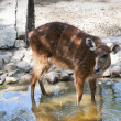 Sitatunga (Tragelaphus spekii) - Stock Photo