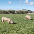 Stock Photo: Two pigs grazing in field