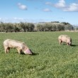 Two pigs grazing in field - Stock Photo