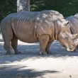 White Rhinoceros (Ceratotherium simum) — Stock Photo