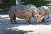 White Rhinoceros (Ceratotherium simum) — Foto de Stock