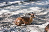 Sitatunga (Tragelaphus spekii) — Stock Photo