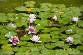 Water lily. — Foto de Stock