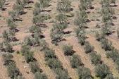 Flygfoto över olivlundar. — Stockfoto