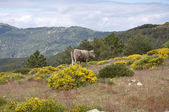 Cow grazing in the mountain — Stock Photo